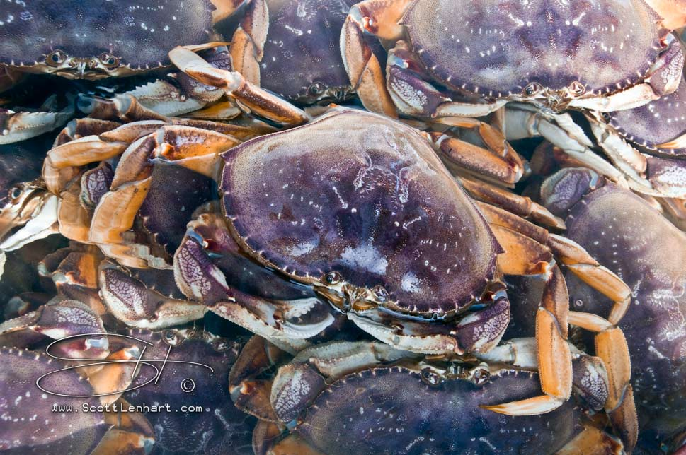scott_lenhart__dungeness_crab_season_opens_with_a_fine_catch__SSL_1455